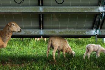 Sheep Under A Solar Panel