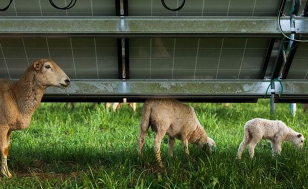 Sheep Join the Push for Solar Power in More Places
